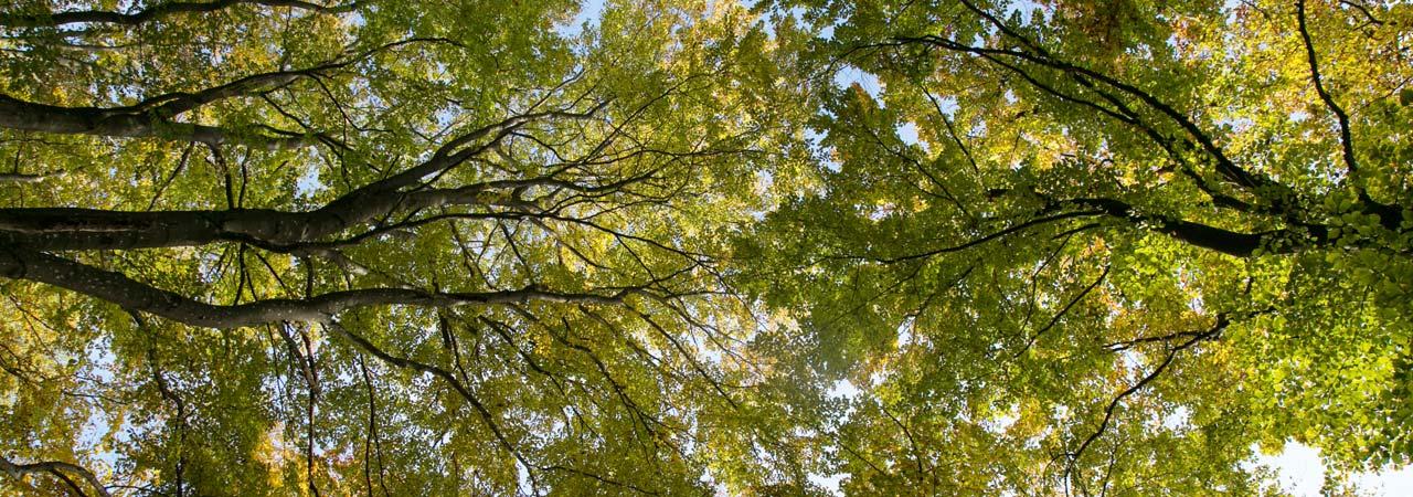 Waldruh Naturbestattung - Baumkrone